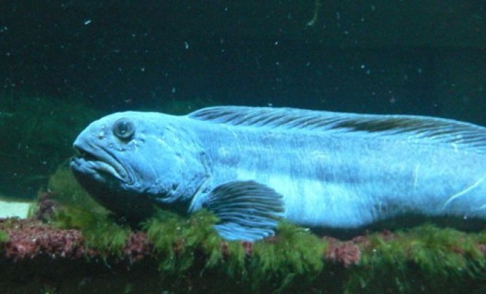 verdens farligste fisk